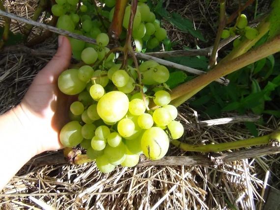 виноград в соломе