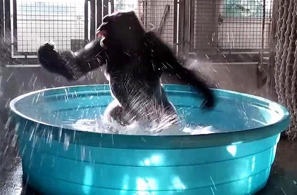 Удивительная горилла из США не терпит грязных рук и ходит, как человек