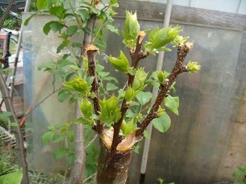 Уход за деревьями черенками после прививки 47