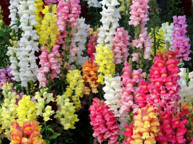 Среди множества сортов антирринума каждому найдется цветок по нраву