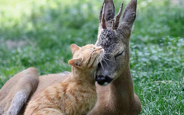 Кошка подружилась с олененком