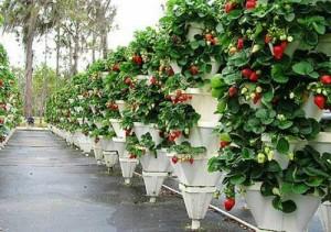 Как выращивать клубнику. Способы посадки и этапы равития