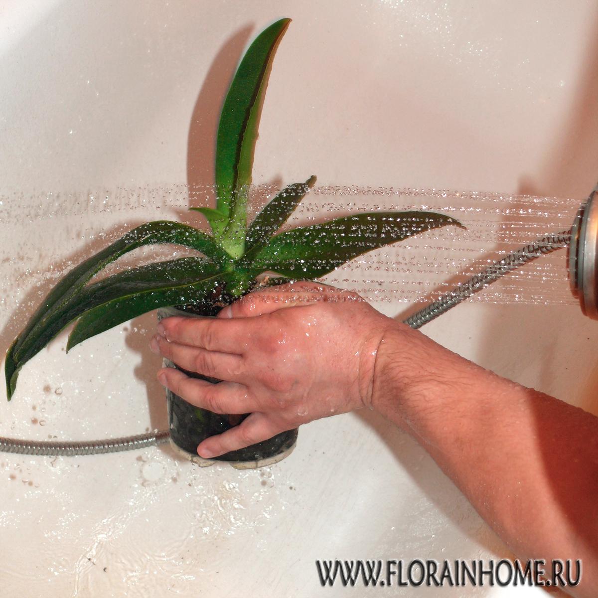 Как сделать горячий душ орхидеям