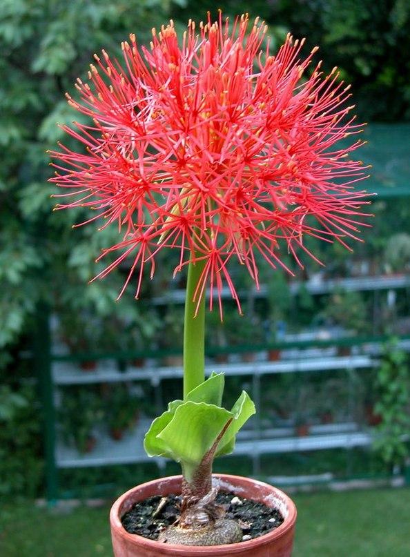 Гемантус уход и выращивание 4