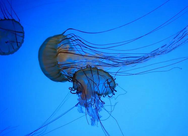 Австралийская коробчатая медуза