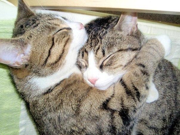 Кошки наши любимые, забавные, прелестные просто так для любования беззаветным кошколюбцам