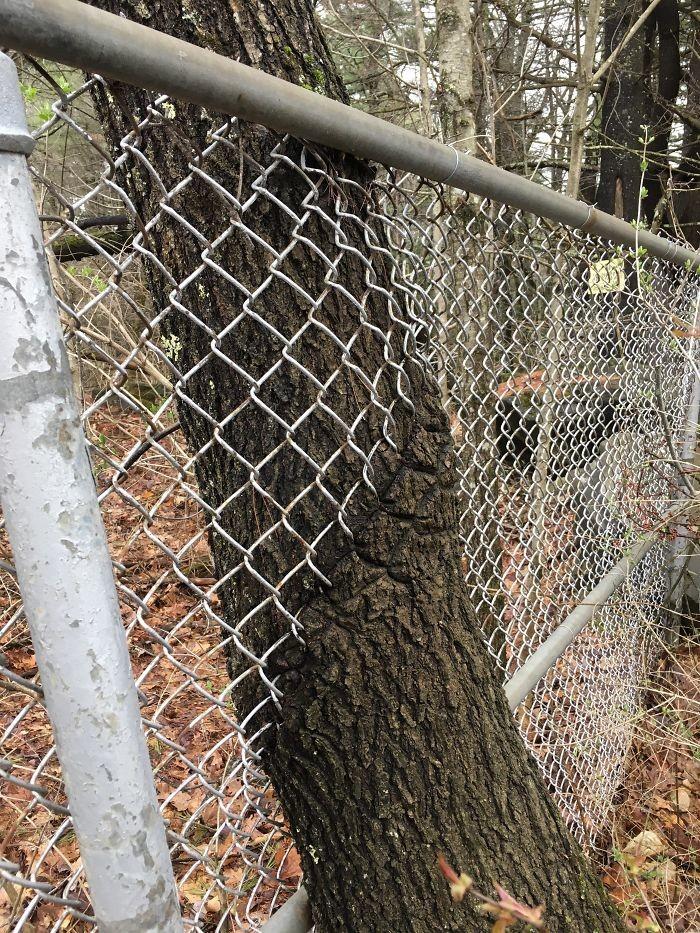 Сквозь забор дерево, живучесть, жизнь, мир, планета, растительность, фото