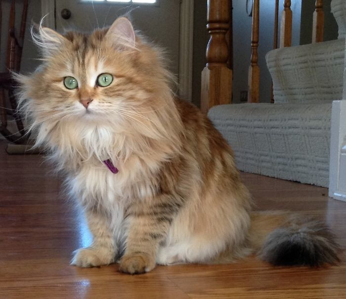 Кошка-принцесса по имени Амброзия - хулиганка и красавица