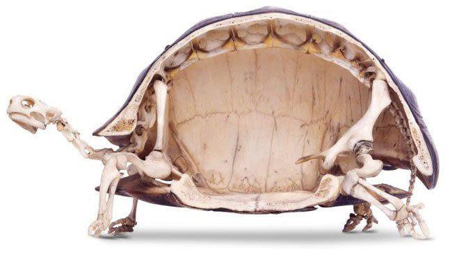 12 невероятных фактов, которые скрывают черепахи под своим панцирем(8 фото + 4 гиф)