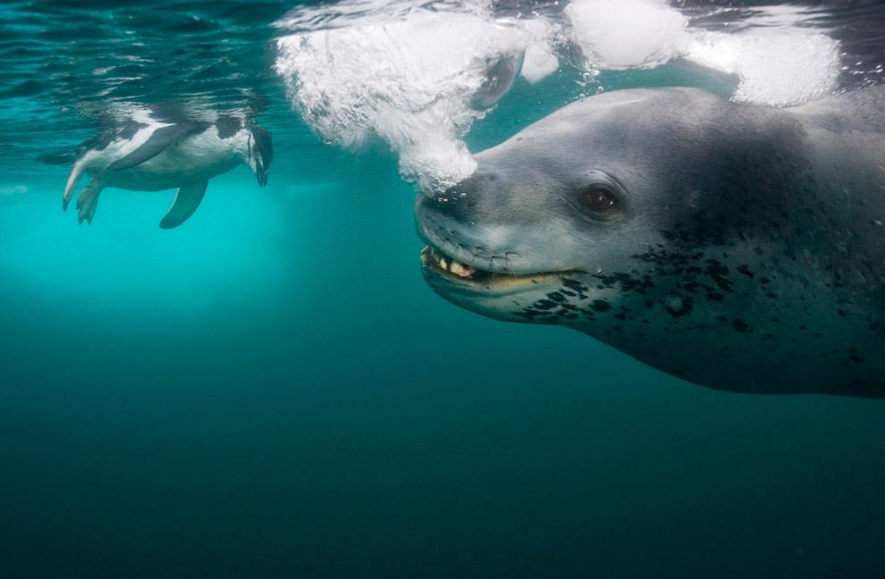 Морской леопард охотится на пингвина