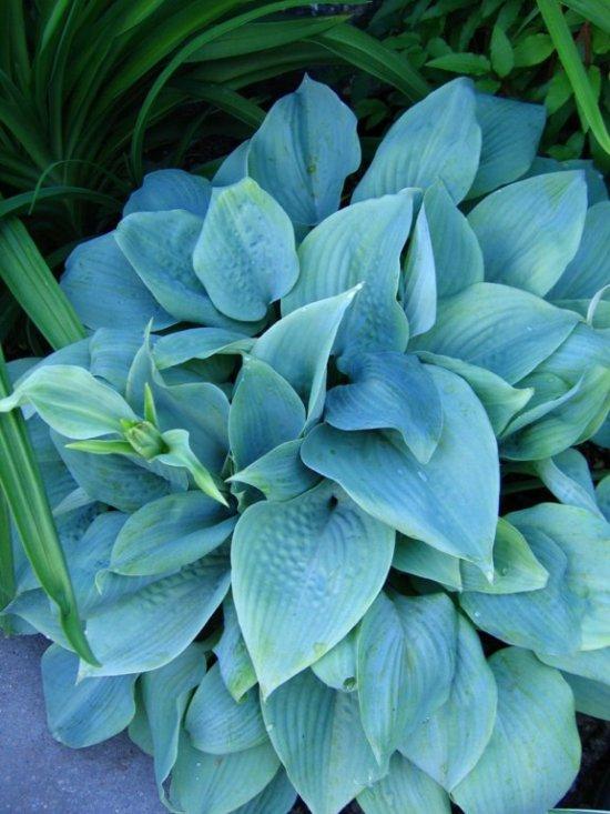 476541f9df.19-fragrant-blue.jpg