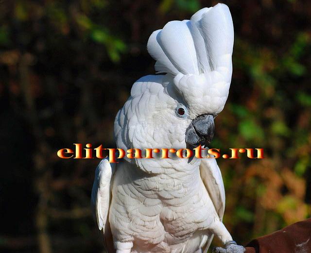Белохохлый какаду (Cacatua alba) - ручные птенцы из питомников ФРГ