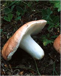 Что за гриб - сыроежка?