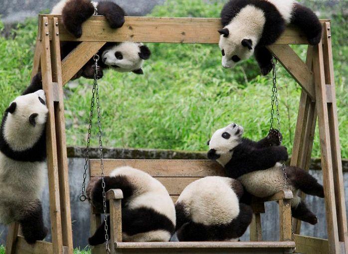 Детсад для панд  (30 фото)