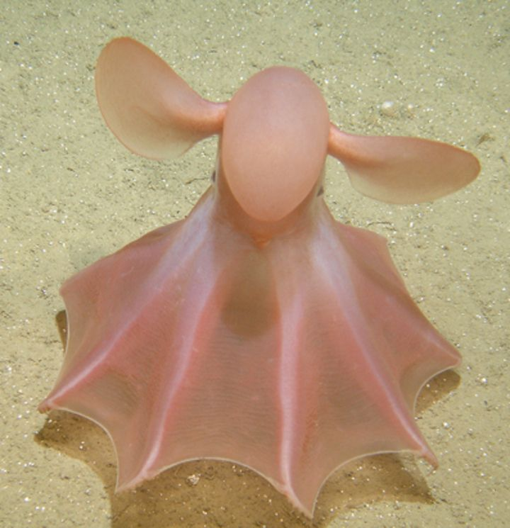 Думбо Октопус