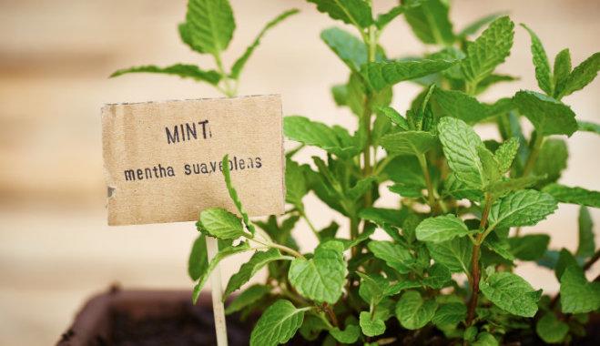 Kā audzēt piparmētras