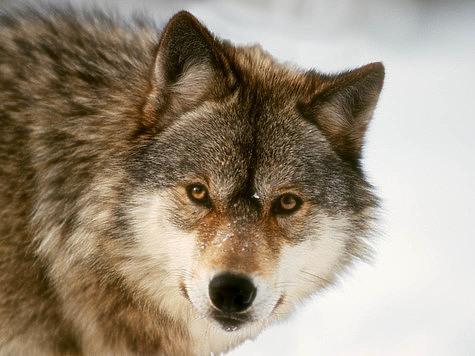 Очередной начальник регионального департамента охоты заподозрен в браконьерстве