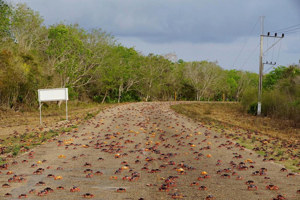 Миграция крабов на Кубе