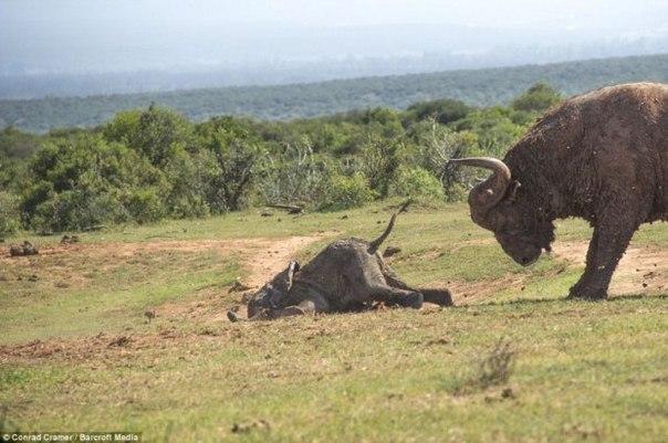 Слоненок решил поиграть с быком))