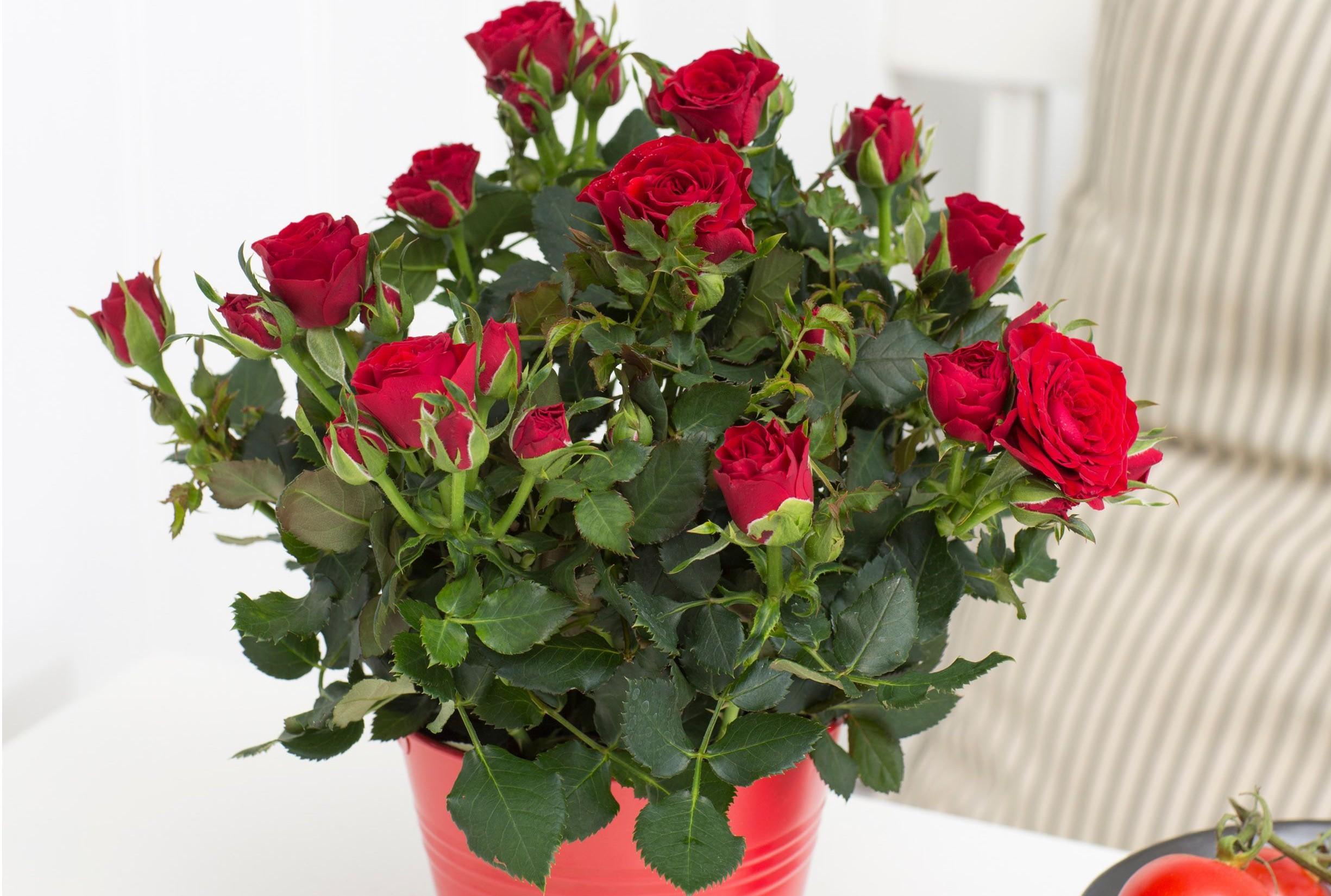 Как посадить розу из букета …