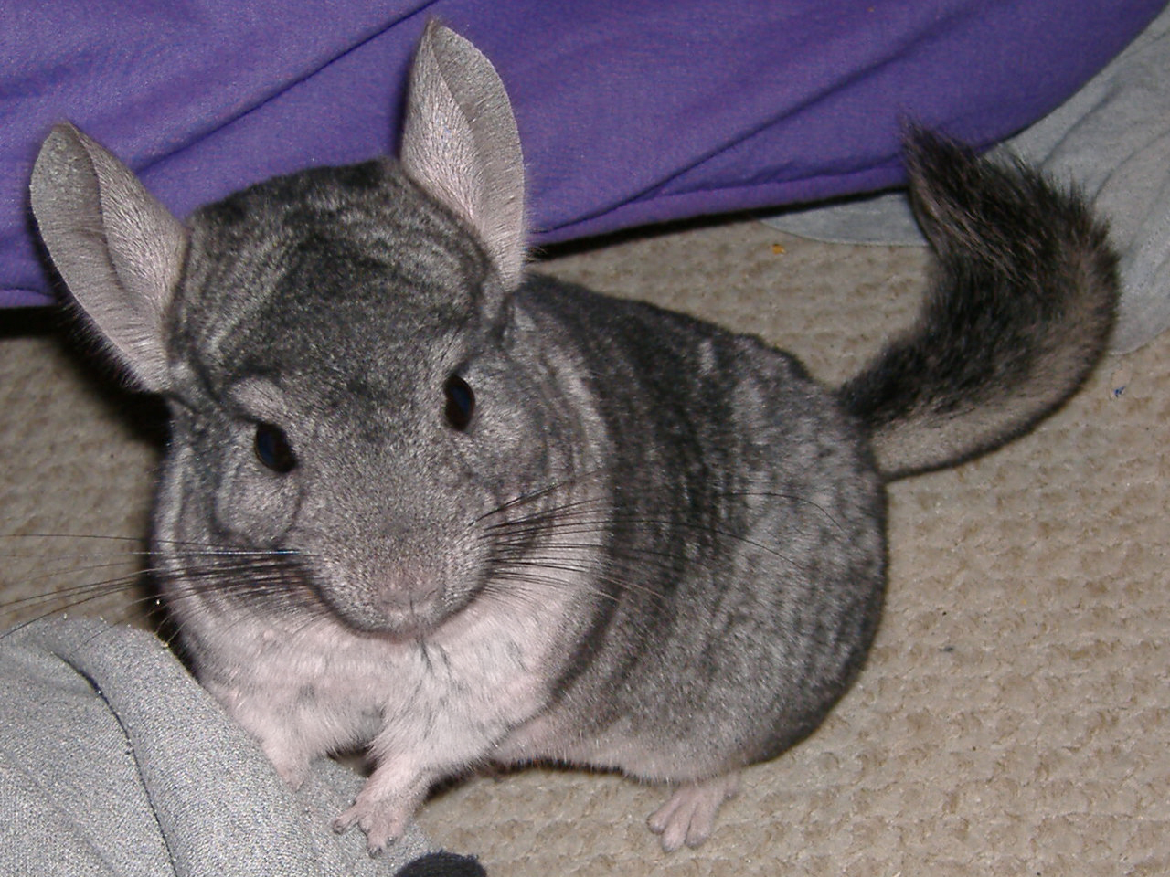 how to play with a chinchilla