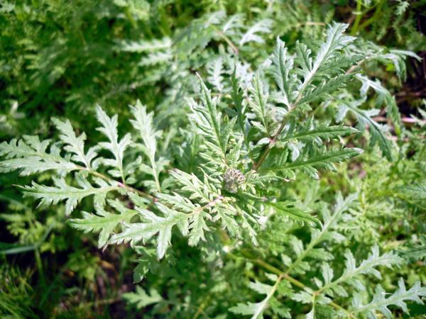 Фацелия - отличный сидерат и средство от сорняков