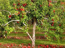 Яблоко румянит купорос.