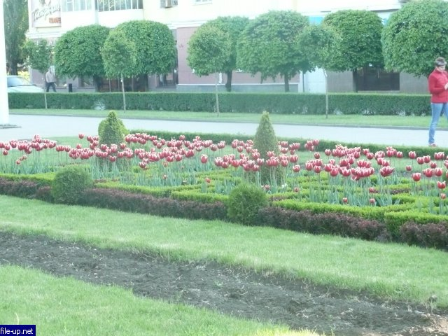 Клумбы Ставрополя  -  любителям тюльпанов и не только