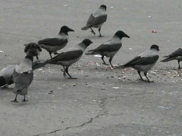 В Чебоксарах стая ворон напала на воспитанников детсада