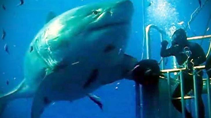 видео про больших белых акул