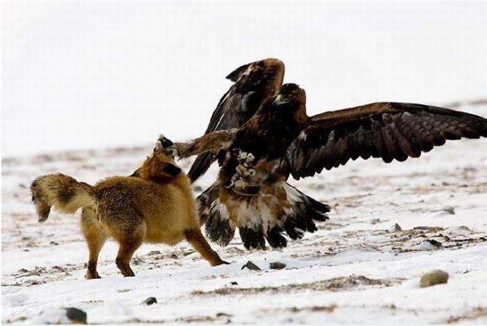fox_20120409_00640_022 (700x500, 50Kb)