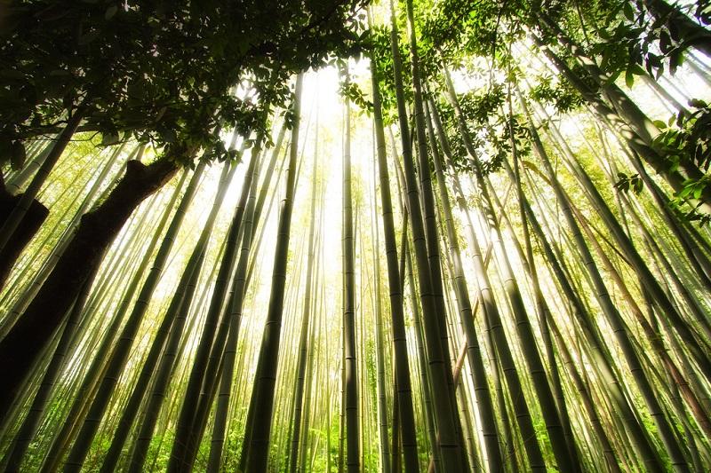 Бамбуковая роща Сагано. Бамбуковые деревья.