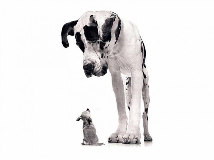 История с маленькой собачкой и огромным догом тебя точно развеселит!