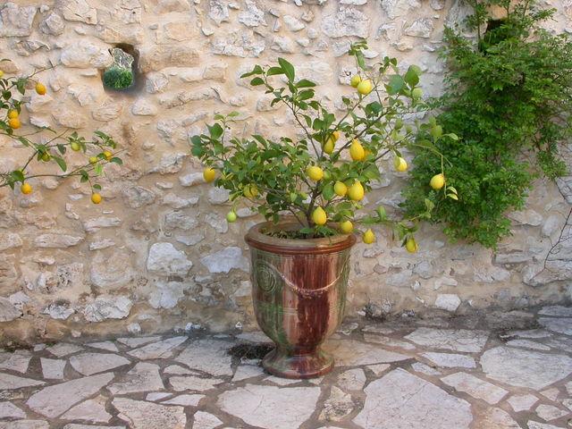 Комнатный лимон - правила выращивания