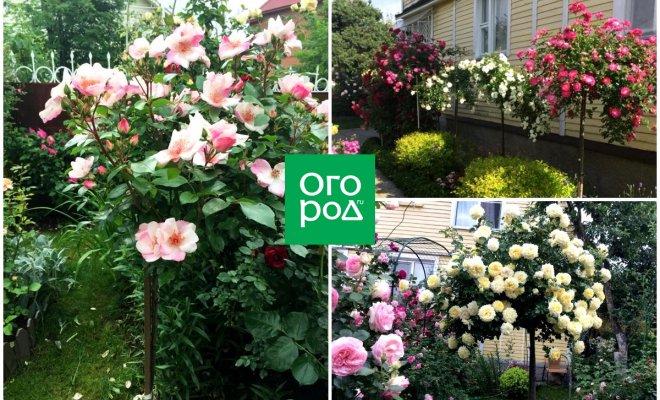 : розы на штамбе выращивание
