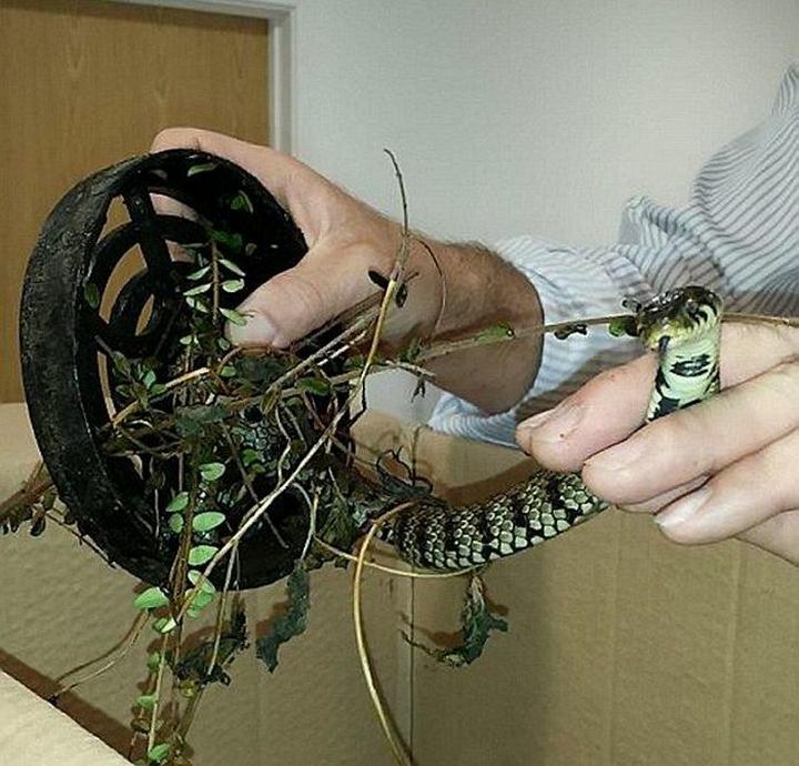 Змея съела лягушку и застряла в сливе