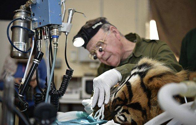Суматранский тигр со сломанным зубом на приеме у стоматолога