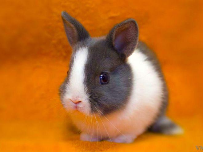Голландские карликовые кролики