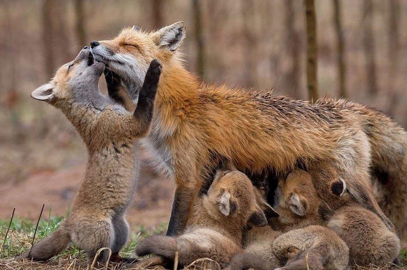 Прошлой весной жительнице Канады Бриттани Кроссман посчастливилось встретить семью лисиц, оказалось, животные живут всего в двух минутах от ее дома Sony World Photography Awards, животные, конкурс, люди, природа, путешествие, фотомир