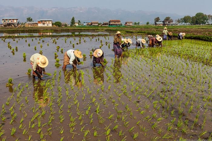 Выращивание овощей на озерах Мьянмы