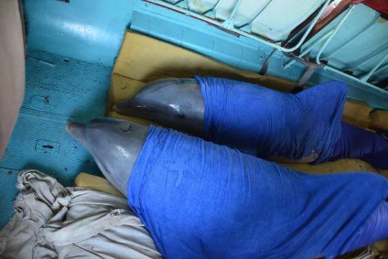 В мокрых одеялах, но не в обиде! 6 дельфинов улетели на вертолёте от урагана Ирма