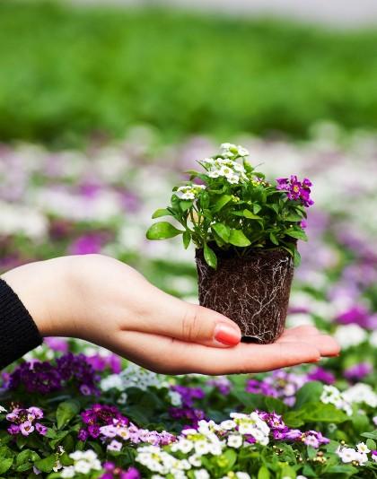 Секреты и тонкости при выборе готовой цветочной рассады - советы практика