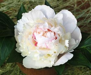 цветы из капроновых лент выкройки