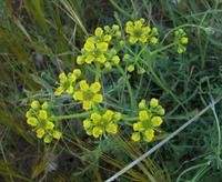 Растения, используемые для лечения женских болезней