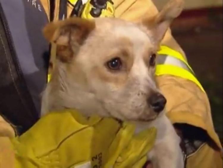 Пожарные не могли понять, почему маленькая собачка не покидает горящий дом