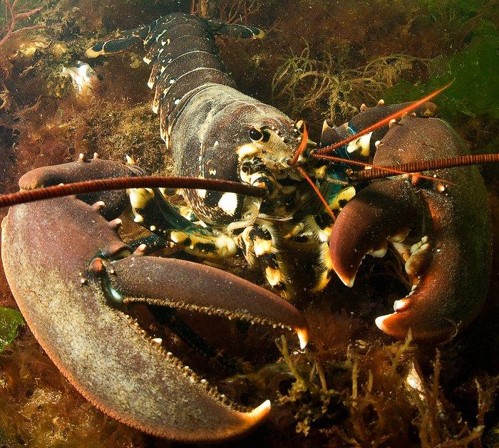 Европейских омаров выпускают в Северное море