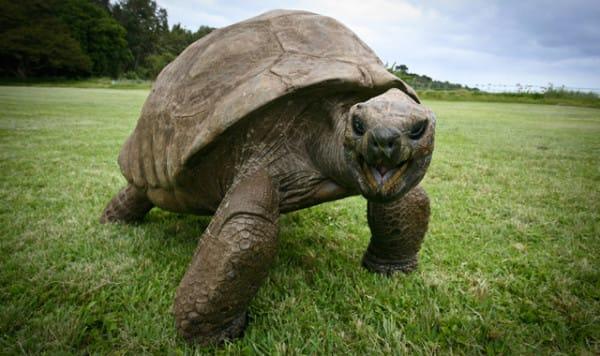 Этой гигантской черепахе почти 200 лет!