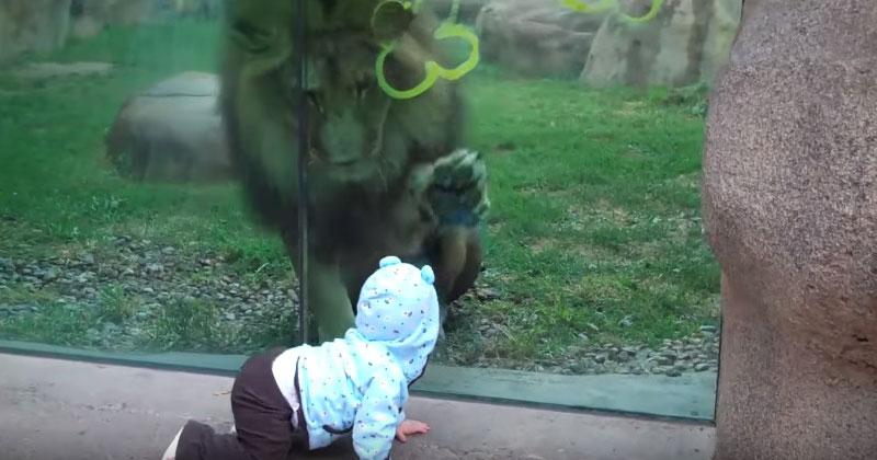 Хищник в зоопарке увидел ребенка. Кажется, этот лев без ума от малютки!