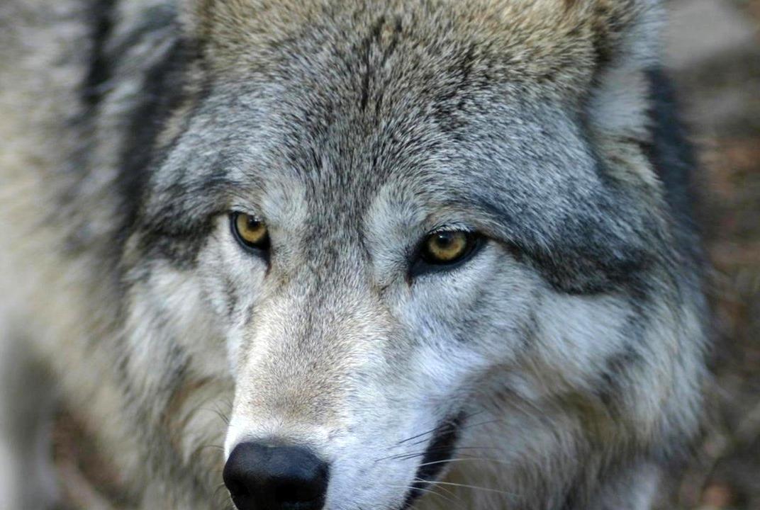 Ярославский зоопарк спас волка Зорро