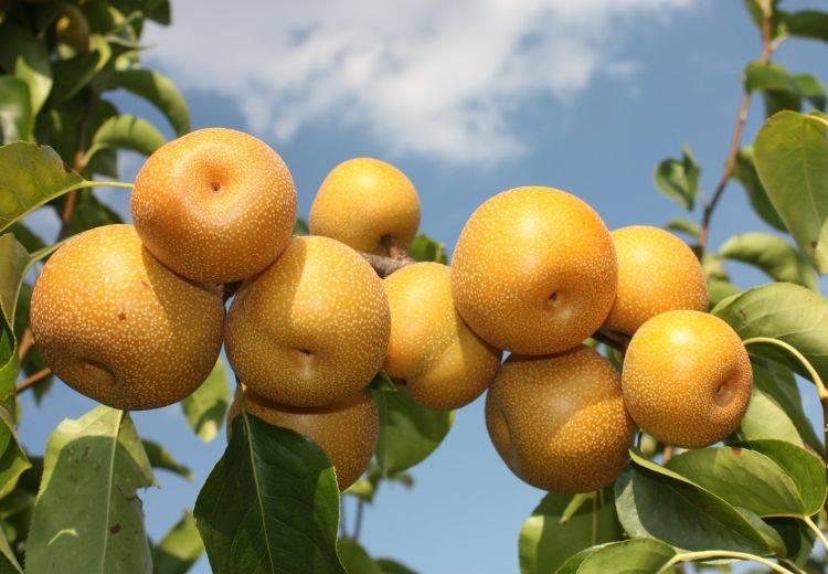 Секуи – азиатская груша с дынным вкусом